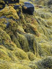Les algues du Loch Dunvegan, Dunvegan castle, le de Skye, Ross and Cromarty, Highland, Ecosse, Grande-Bretagne, Royaume-Uni. (byb64) Tags: dunvegan dunvegancastle dnbheagain clanmacleod macleod mcleod strath skye isleofskye ledeskye innerhebrides hbrides hbridesintrieures le isle island isla rossandcromarty ross rossshire highland highlands loch ecosse escocia schottland scotland scozia grandebretagne greatbritain grossbritanien granbretana royaumeuni reinounido vereinigtesknigreich ue uk unitedkingdom eu europe lochdunvegan algues algae alge alga nature natura