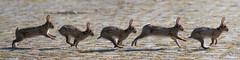 run rabbit run (lunamtra) Tags: photomerge rennen kaninchen laufen stiching