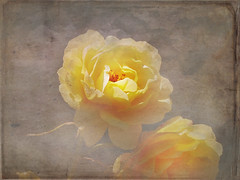 The soft essence of vanished flowers (Nick Kenrick.) Tags: roses magicunicornverybest