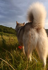 And somehow he stuck his butt in front of my camera.... (jayjay.and.the.wolf) Tags: nature butt dog wilderness sunset malamute wolfdog outdoors minnesota