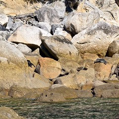 NZ Fur Seals