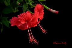 Hibisco/Hibiscus (Altagracia Aristy) Tags: hibisco hibiscus cayena quisqueya dominicanrepublic laromana repblicadominicana caribe carabe antillas antilles trpico tropic amrica altagraciaaristy caribbean fujifilmfinepixhs10 fujifinepixhs10 fujihs10 fondonegro blackbackground sfondonero hibiscos cayenas