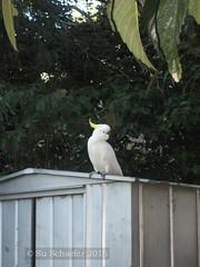 Cocky 1 of 2: What're you looking at? (Su_G) Tags: bird nature birds sydney australian australia whatareyoulookingat whitebird sulphurcrestedcockatoo australianwildlife australianbird sug sydneynsw sulfercrestedcockatoo thisismybestside gordonnsw