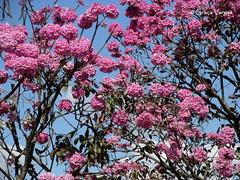 ip rosa ( Graa Vargas ) Tags: ip pink sky tree flower graavargas brasilia brasil tabebuia tabebuiaheptaphylla floweringtree 2016graavargasallrightsreserved 17402290816
