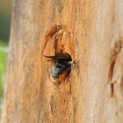 Leafcutter bee, Sandy, Bedfordshire (orangeaurochs) Tags: bees sandy bedfordshire nests