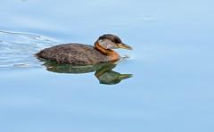 Lake Placid (Slow Turning) Tags: summer lake reflection bird water swimming harbor harbour southernontario redneckedgrebe podicepsgrisegena