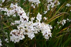 WWG10DSC_5752 (kjemem) Tags: orkney scotland wookwickhouse flower flowers