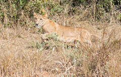 (Photos_by_an_Untrained_Photographer) Tags: lion lioness tanzania uconn university connecticut ruaha nature outdoors safari adventure africa animals action nikon d610 predator nikonprofessional college wanderer sigma wildlife