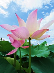 IMG_2381 (oneroadlucky) Tags: pink plant flower nature waterlily lotus