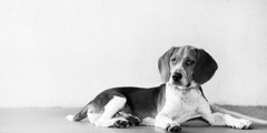 Toby 5 months (miriamhope) Tags: beagle baby boy cute pup puppy dog pet portrait photography handsome highkey high key end film look mastin