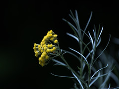 Gewrzdingens (Florian Grundstein) Tags: makro curry blten gewrz pflanze flora kruter wildkruter gelb yellow blume flower blossom bokeh nature wild olympus omd em5 panasonic 100300 dof schrfentiefe