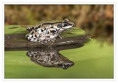 Bubbling Running Frog