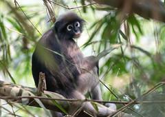 IMG_9926 Dusky Leaf Monkey (suebmtl) Tags: duskyleafmonkey nearthreatened trachypithecidaeobscurus mammal thailand kaengkrachannationalpark spectacledleafmonkey duskylangur primate