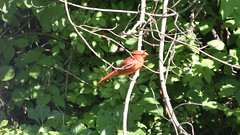 Cardinal in the Sun (blazer8696) Tags: 2016 brookfield ct connecticut ecw obtusehill t2016 usa unitedstates cardinal cardinalis cardinaliscardinalis northern northerncardinal passeriformes img9464
