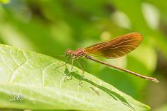 Calopteryx hemorroidal - Calopteryx haemorrhoidalis (Domaine Des Oiseaux, Ariege) 16 juillet 2016 (Christophe.R.) Tags: calopterygidae calopteryx calopteryxhaemorrhoidalis caloptryxhmorrodal caloptryxhmorrodalcalopteryxhaemorrhoidalis canon ddo domainedesoiseaux france ladddo libellule macro macro100mm macro100mmf28 mazres midipyrenes printemps zygopteres dragonfly odonate wwwlesamisdudomainedesoiseauxfr 100 1100 100mm 800iso