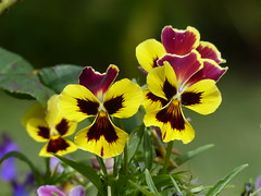 Flowers (teressa92) Tags: flowers pansies yellow gardenflowers color bright teressa92 thegalaxy