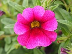 A Petunia flower in my garden. (Bienenwabe) Tags: petunia flower macro flowermacro solanaceae petuniahybrid petunie nature