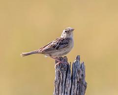 SPARROW, Grasshopper (teddcenter) Tags: bird grasshoppersparrow molt montana sparrow stillwatercounty