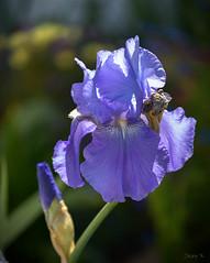 Soft Purple (Jocey K) Tags: christchurch newzealand southisland iris beardediris flower