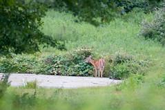 DSC_1080-1 (bjf41) Tags: deer whitetail fawn pond