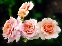 Roses (Ancora Marina) Tags: flower roses