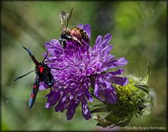 Il duo..... (celestino2011) Tags: ape farfalla macro natura fiori