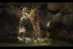 Fighting (Blitzknips) Tags: sonya77 a77 alpha77 animals animal tiere tierpark tierparkberlin tier cat katze katzen sibirischertiger amurtiger tiger siberiantiger predator raubtier raubkatze bigcat groskatze panthera mammal säugetiere