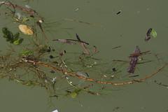 Greifenstein (Harald Reichmann) Tags: niedersterreich greifenstein donau fluss wasser pflanze treibgut anordnung verteilung mglichkeit bewegung poesie muster