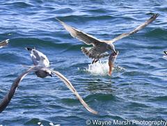 Gannets feeding off Bass Rock, Scotland (Wayne Marsh) Tags: gannets gannet gannetsfeeding fish catchingfish birdwithfish seabird seabirds bassrock birdsinflight sea britishbirds scottishbirds scottishbirdlife britishbirdlife ngc