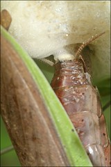Preparing the Next Generation (muledriver) Tags: mantis ootheca insects nature macro