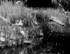 (tokyo heron 2) (Dinasty_Oomae) Tags: leica leicaiiia leica3a  iiia 3a   blackandwhite blackwhite monochrome bw outdoor  tokyo  chiyodaku   heron