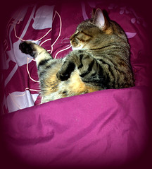 sleepinng in (Bets<3 Fine Artist ~Picturing Light ~ Blessings ~~) Tags: mainecoon maine cat sleeping blanket beauty pet whiskers ears paws face nose mouth model