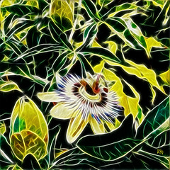Passiflore (carolinesheid) Tags: nature plant passiflore fleur passiflora flower digitalart