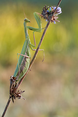 2016-09-26 18-22-15 (B,Radius1,Smoothing1) (HelmiGloor) Tags: mantisreligiosa europischegottesanbeterin fangschrecke fangschrecken praying mantis schweiz switzerland kanton aargau makro macro olympus focus stacking bracketing