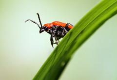 Jo le curieux (Rmi Vannier) Tags: macro canon bug insect eos brest 7d avril insecte 2015 coleoptere giuscescu criocere