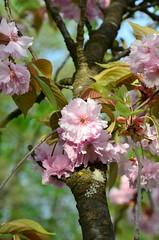 DSC_8806 (aktarian) Tags: flowers spring slovenia bloom ljubljana slovenija pomlad rože cvetovi cvetenje