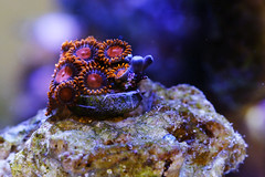 X - Knappar robins akvarium (manuel ek) Tags: aquarium button saltwater akvarium knappar saltvatten