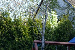 2015_Április_1495 (emzepe) Tags: tree bird hungary european branch goldfinch utca 37 otthon ungarn fa tavasz vogel udvar kert 2015 hongrie április carduelis stieglitz élégant chardonneret madár kertben hódmezővásárhely bercsényi tengelic nálunk faág stiglic