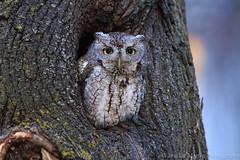 City owl (___flowerchild) Tags: new trees cambridge england nature canon dead wildlife owl eastern owls screech