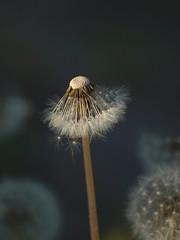 Striptease (Titole) Tags: dandelion seeds pissenlit explored titole nicolefaton