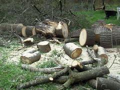 Once a poplar (Davydutchy) Tags: wood holland tree netherlands poplar populier boom beam birch holz bume arbre friesland hout bois berk peppel frysln poppel nieuwehorne borke nijhoarne hakhout