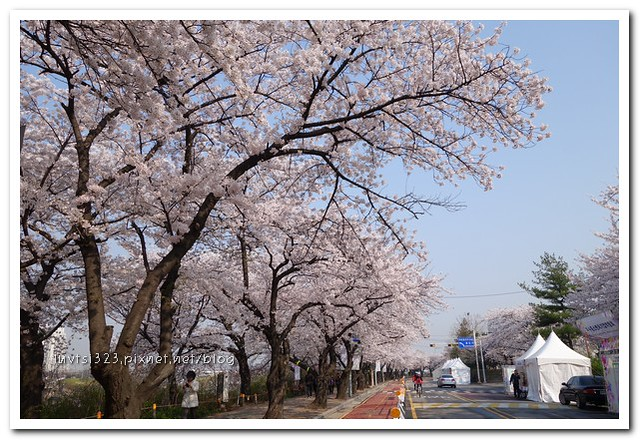 여의도벚꽃09