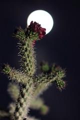 Cholla Bloom (em_burk) Tags: pink arizona cactus moon flower night canon desert bokeh spine thorn cholla