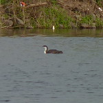 Red-throated Loon thumbnail