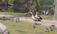 DSC_0175 copia (giuli.flaccomio) Tags: park parco goose chicks dusseldorf düsseldorf oca küken pulcini ocaegiziana