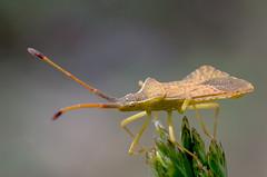 Syromastus rhombeus (GeoTsia) Tags: macro bug insect truebug coreidae hemiptera pentatomomorpha coreoidea syromastusrhombeus syromastus rhombicleatherbug