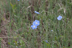 Blue Flax (ironekilz) Tags: open space cathy prairie fromme