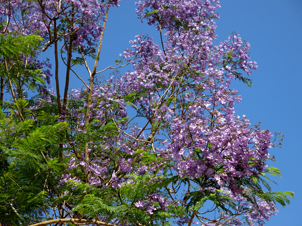 Palisanderholzbaum  The World's Best Photos of jacarandamimosifolia and trees - Flickr ...