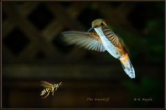 The Standoff (Maclobster) Tags: hummingbird wasp keithgrajala