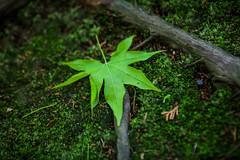 maple leaf (sorapongtuangsuwan) Tags: wood blue plant tree green nature beautiful beauty japan garden japanese leaf spring maple kyoto pretty natural bokeh background space young scene calm fresh tofukuji zen simple calmness